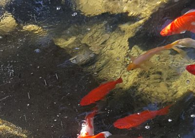 Koi Pond at Mosaic Management's Magnolia Gardens Senior Living